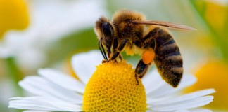 Bee-collecting-pollen-010