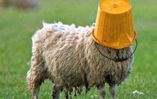 Ovce pojele marihuanu vrijednu 5.000 eura!