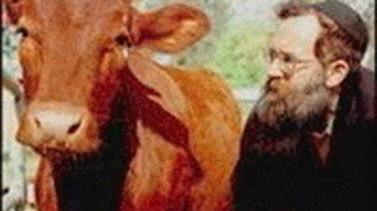 """Jevreji ubrzano traže """"Crvenu kravu"""" kako bi srušili Mesdžidu-l-Aksa"""