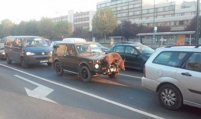 Vikend u Sarajevu: Parada sa divljom svinjom