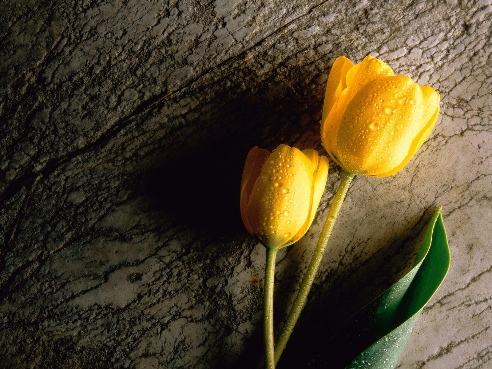 Yellow20Tulip